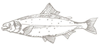 salmon fish illustraion
